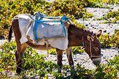 Head Of Donkey From Santorini