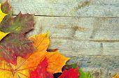 colorful autumn maple leaves