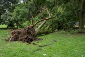 Fallen Tree After A Storm. Margaret Island, Budapest, Hungary.