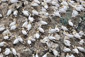 picture of gannet  - Northern Gannet colony with young chicks on a rock - JPG