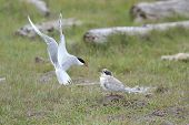stock photo of tern  - Arctic Tern  in flight, feeding chick on the ground