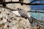 Flying Pigeon Closeup