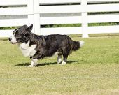 picture of corgi  - A young healthy beautiful brindle black tan and white Welsh Corgi Cardigan dog with a long tail walking on the grass happily - JPG