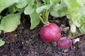 Radish from the vegetable garden