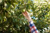 Woman Picking Green Apple From Tree