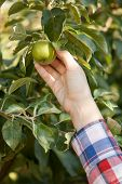 Women Hand Picking Green Apple From Branch