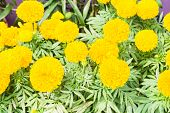 foto of marigold  - Marigolds in garden  - JPG