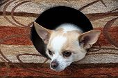 Image of small chihuahua in the doghouse