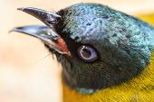 Black-headed Bulbul, Pycnonotus Atriceps