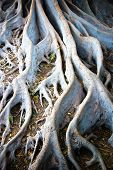 White Tree Roots