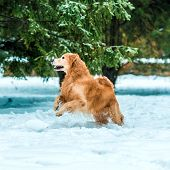 Young golden retriever walk at the snow in winter park