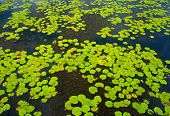 foto of lilly  - Beautiful Vietnam lake group of water lilly leaf in yellow on water panorama of amazing lake violet flower cover on alga brilliant color on day - JPG