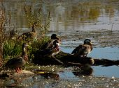 pic of canard  - Family duck wood la boivin granby Qu - JPG