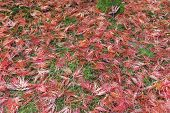 Japanese Maple Leaves On Mossy Ground in Fall Season