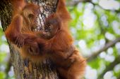 stock photo of orangutan  - Orangutans in the jungle of Borneo - JPG