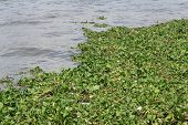 Weed Or Water Hyacinth In The River