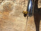Wasp drinking water.