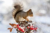 Squirrel Winter Berries