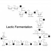 picture of fermentation  - Chemical scheme of lactic fermentation metabolic pathway 2d illustration on white background - JPG