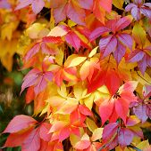 Colorful And Bright Autumn Leaves