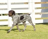 image of scenthound  - A young beautiful liver black and white ticked German Wirehaired Pointer dog walking on the grass - JPG
