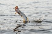 stock photo of hook  - Hooked pike is jumping out of water - JPG