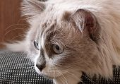 Ragdoll breed of cat face close up