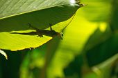 foto of gekko  - Lizard behind a leaf in park, La Reunion Island