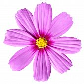Pink Cosmea Rose. Beautiful Cosmos Flower Isolated