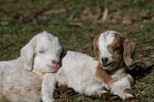 stock photo of baby goat  - two baby goats sleeping in the sunshine - JPG