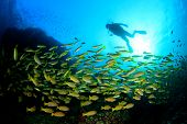 picture of biodiversity  - Scuba diving in oceaqn with fish - JPG