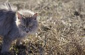 image of character traits  - Frightened cat with arched back standing in a grass outdoor horizontal shot - JPG