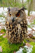picture of snow owl  - Closeup Eurasian eagle - JPG