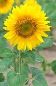 stock photo of sunflower  - Bright yellow sunflower in the sunflower field - JPG