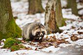foto of raccoon  - Raccoon dog walking in the winter forest - JPG