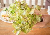 stock photo of hydroponics  - Hand hold fresh hydroponic red oak leaf stock photo - JPG