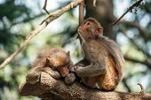 picture of macaque  - macaque in rainforest sitting on tree - JPG