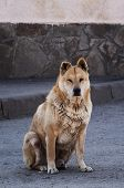 picture of wander  - wandering red dog sits on an empty street - JPG