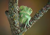 foto of chameleon  - A waxy monkey tree frog is sitting on a branch and seems to have the head of a chameleon - JPG