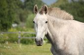 stock photo of colt  - White andalusian young colt portrait at flower field - JPG