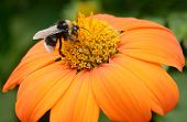 foto of bumble bee  - Big bumble bee on flower - JPG