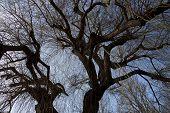 image of weeping  - a blooming weeping willow in springtime seen in worm - JPG
