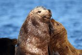 stock photo of huddle  - A California Sealion Mother  - JPG