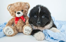 picture of newfoundland puppy  - Cute Newfoundland puppy laying on a blue blanket with a teddy bear on a white background - JPG