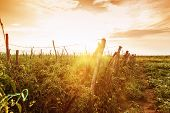 stock photo of wonderful  - tomatoes plants at agricultural field in wonderful evening sunshine - JPG