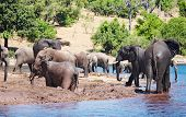 image of wallow  - Herd of elephants at watering - JPG