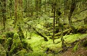 Primeval forest, New Zealand