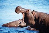 Wild hippo, Chobe river, Botswana