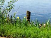 Irises Growing By Lake