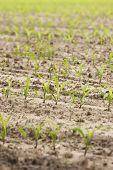 Small Maize Plants